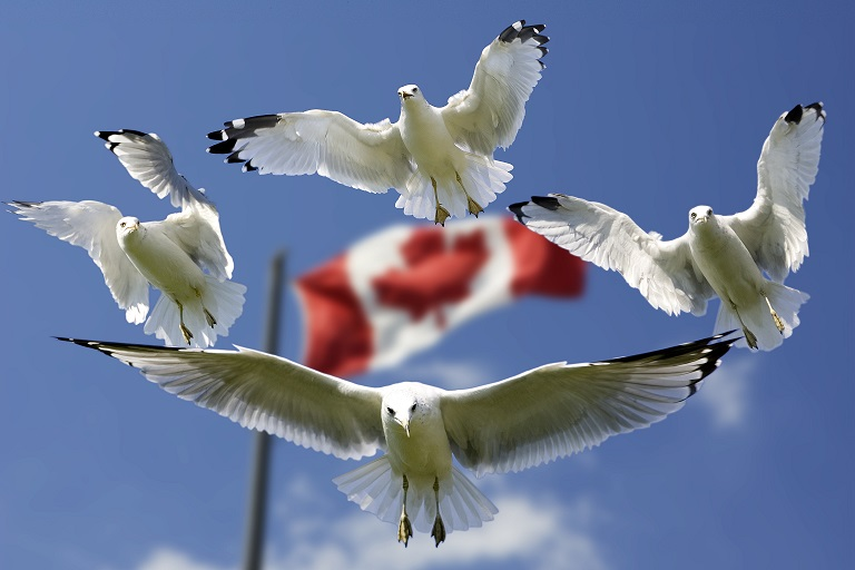 Canada Flag and Seagulls